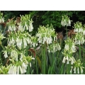 Agapanthus Long Tom (NEW)